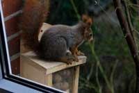 Eichhörnchen sitzt auf Nusskasten