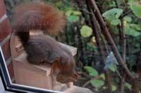 Eichhörnchen lernt Nüsse zu schnappen