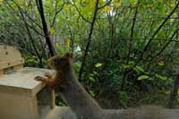 Eichhörnchen liebt Nüsse