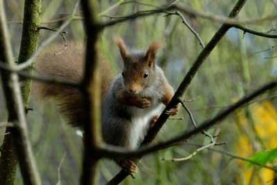 Eichhörnchen - Ein Freund im Garten