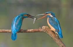 Zwei Eisvögel streiten um einen Fisch