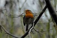 Rotkehlchen singt ein Lied